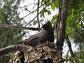 Anous stolidus -Cousin Island -Seychelles adult on nest-8.jpg