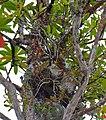 Ant Plant (Hydnophytum formicarum) (15145786984).jpg