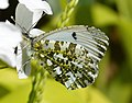 Anthocharis cardamines. Orange Tip female underside - Flickr - gailhampshire.jpg