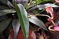 Anthurium scherzerianum Rothschildianum 3zz.jpg