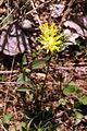 Anthyllis vulneraria vulneraria PID779-1.jpg