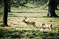 Antlers at Stock Gaylard - geograph.org.uk - 522961.jpg