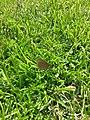Aphantopus hyperantus у Севастопальскім парку.jpg
