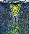 Aphrodisium convexicolle Gressitt & Rondon, 1970 male Scutellum (11704271345).png