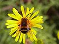 Apidae CBMen 1.JPG