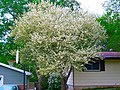 Apple Blossom Tree - panoramio.jpg