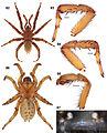 Aptostichus stephencolberti anatomy (ZooKeys).jpg