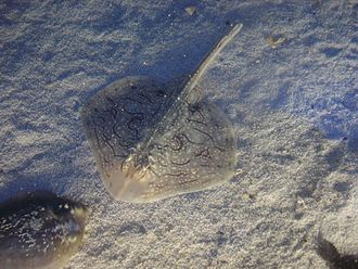 Undulate ray - Image: Aquarium Genoa 03