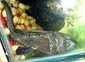Aquarium fish3.JPG