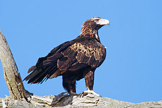 Wedge-tailed eagle species of bird