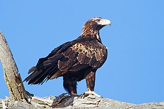 Wedge-tailed eagle Bird of prey within the genus Aquila
