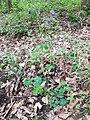 Aquilegia vulgaris sl5.jpg