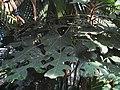 Araliaceae complex leaf, Trevesia palmata IMG 9375 (4839714335).jpg