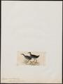 Aramides albicollis - 1820-1863 - Print - Iconographia Zoologica - Special Collections University of Amsterdam - UBA01 IZ17500053.tif
