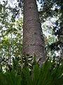 Araucaria cunninghamii Fraser Island.jpg