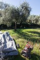 Archangelos Αρχάγγελος Rhodes Ρόδος 2019-11-27 09 olive harvest.jpg