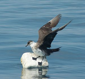 Parasitic jaeger - An immature parasitic jaeger