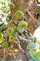 Argentina-01473- Wild Fig Tree (48994256043).jpg