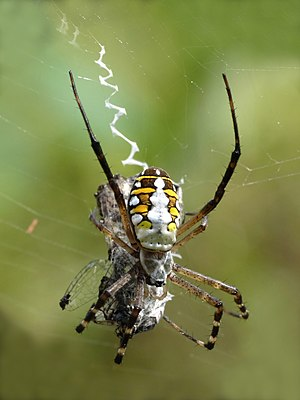 Orb-weaver spider - Argiope catenulata