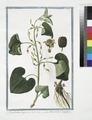 Aristolochia, longa, vera - Aristoloche longue. (Long-rooted Birthwort) (NYPL b14444147-1125111).tiff