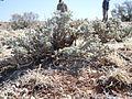 Artemisia bigelovii — Matt Lavin 014.jpg