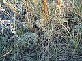 Artemisia frigida (5033863801).jpg