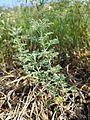 Artemisia pontica sl2.jpg