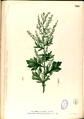 Artemisia vulgaris Blanco2.329-original.png