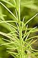 Asclepias verticillata (3197723606).jpg