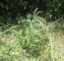 Asparagus Top Flowering Perennial