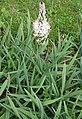 Asphodelus macrocarpus var. arrondeaui in Jardin des Plantes 04.jpg