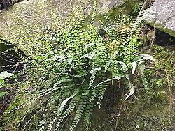 Asplenium trichomanes subsp quadrivalens.jpg