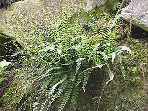 Asplenium trichomanes - Asplenium trichomanes subsp. quadrivalens
