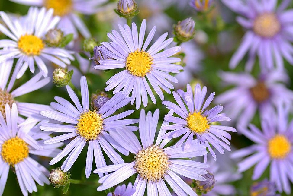 Aster amellus - blooms (aka)