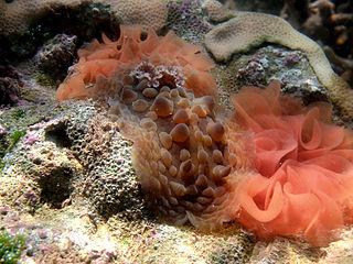 <i>Asteronotus cespitosus</i> species of mollusc