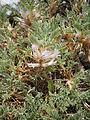 Astragalus sempervirens 002.JPG