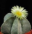 Astrophytum myriostigma first flower.jpg