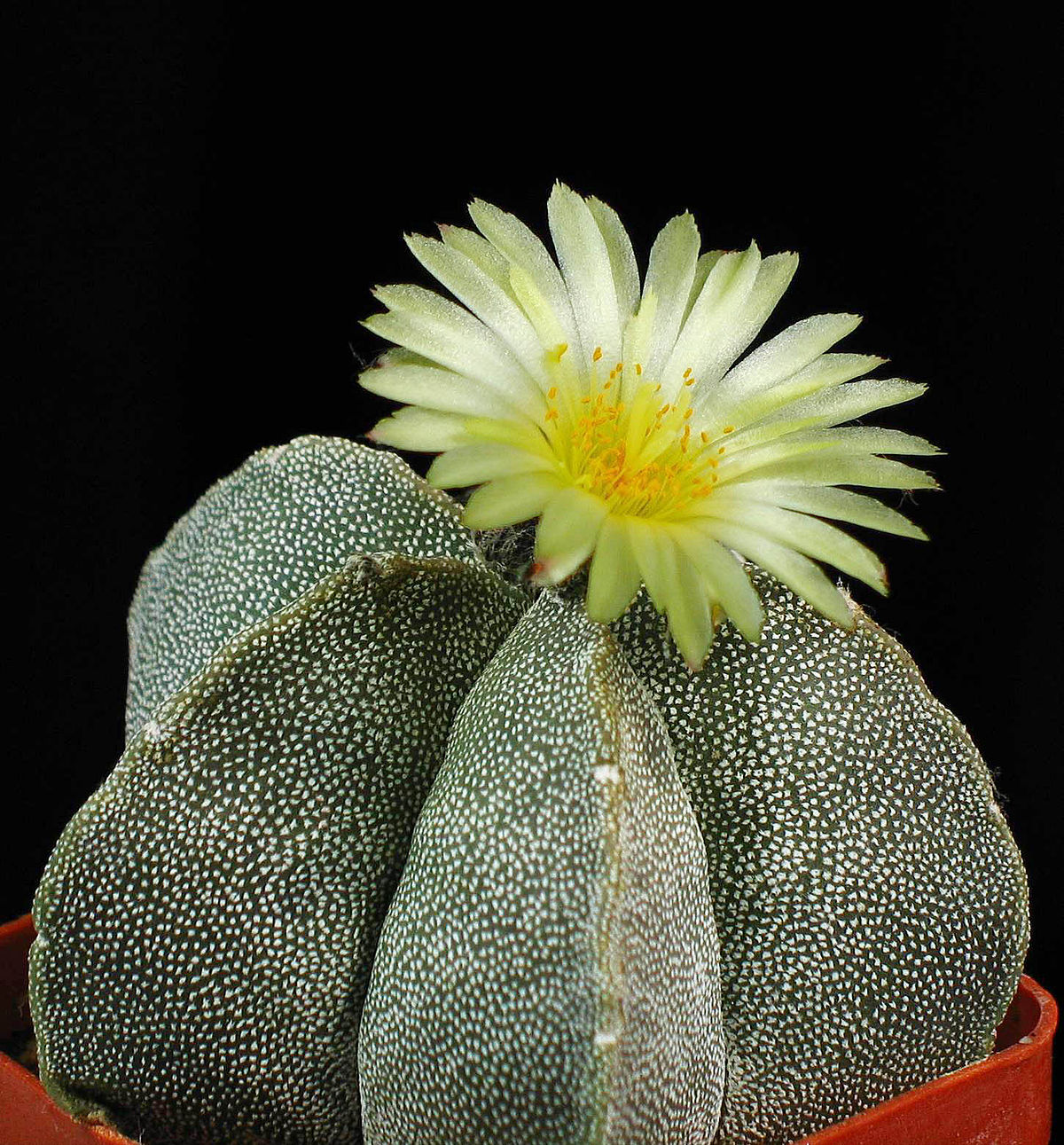 Astrophytum myriostigma wikipedia la enciclopedia libre for Significado de ornamental wikipedia