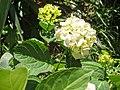 Atlas roslin pl Hortensja ogrodowa 1189 7167.jpg
