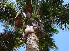 A view of the crown of a palm tree from below. Dark green leaves emerge in a radial pattern from the trunk of the tree,  above old, dried leaf bases from which the leaves have been cut off.  Small ferns grow on them, wedged between the old leaf bases and the  trunk of the palm. Between the dried leaf bases and the green leaves  there are several brown inflorescences, each of which lies below a  reddish-brown bract which is larger than the inflorescence.