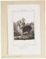 Auchenia pacos - 1700-1880 - Print - Iconographia Zoologica - Special Collections University of Amsterdam - UBA01 IZ21600111.tif