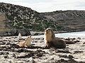 Australian sea lion 02.JPG