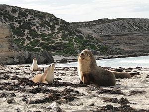 Australian sea lion - Australian sea lions on the beach at the Seal Bay Conservation Park on Kangaroo Island, South Australia