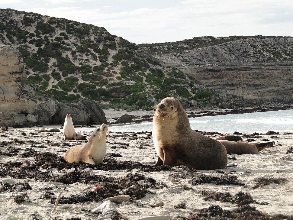 Australian sea lion 02
