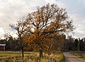 Autumn oak in Gåseberg.jpg