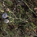 Azurite-Echinops ritro-Feuilles-20140806.jpg