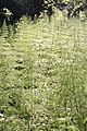 Bürmoos - Zehmemoos - Motiv Natur - 2020 05 17 - Schachtelhalm.jpg