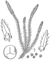 BB-0116 Selaginella selaginoides.png