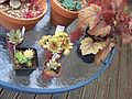 BBC Gardeners World Loot. - Haworthia Elivae Paellnitziam , Crassula Columnella, Sempervivum Nortofs Hybrid and Sempervivm Hullabaloo. Plus one Heuchera Sweet Tea for the Quinnster. (5843182648).jpg