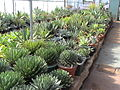 BCSS gloucester branch auction - The national agave collection (6207559526).jpg